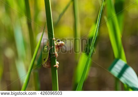 Hyla Arborea - Green Tree Frog On A Stalk. The Background Is Green. The Photo Has A Nice Bokeh. Wild