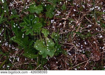 Particles Of Large Spring Hail Lie On The Green Grass. The Changeability Of Spring Weather. Storm Wa