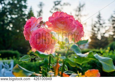 Blooming Rose At Sunset In Catherine Park In Tsarskoe Selo (pushkin), Saint Petersburg, Russia