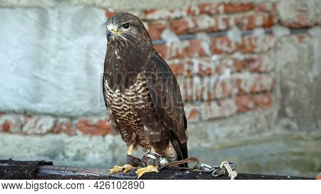 Detail Of A Kestrel Predator. A Predator Sits On A Perch. In The Background Is A Brick Wall.