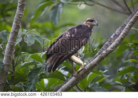 Closeup Of Golden Eagle (aquila Chrysaetos) Sitting In Tree With Fish In Claws Transpantaneira, Pant