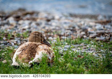 One Female Shoveller Sleeping On Grass Beside Lake. Northern Shoveler. Anas Clypeata. Lausanne, Swit