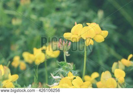 Yellow Flowers Of The Lotus Corniculatus Plant. Fodder Legume Grass For Animal Feed. Plants Of Ukrai