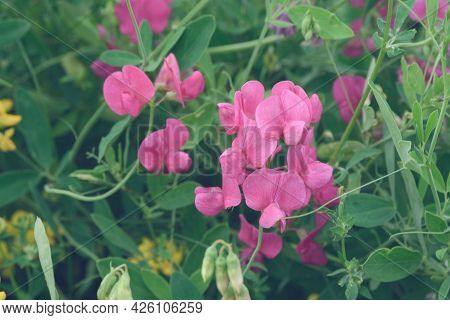 Pink Flowers Of The Lotus Corniculatus Plant. Fodder Legume Grass For Animal Feed. Plants Of Ukraine