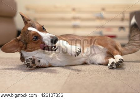A Beautiful, Kind Dog, A Brown-and-white Corgi Cardigan.