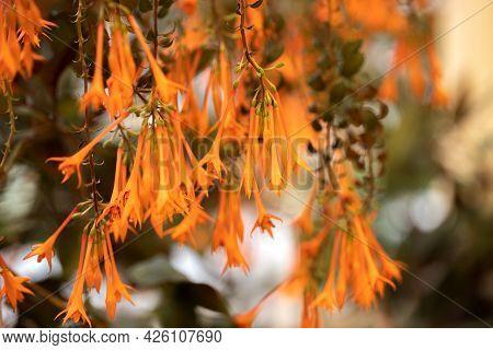 A Lot Of Hanging Fuchsia Hybrida Buds