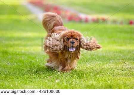 Brown Cocker Spaniel Run In The Park On A Green Lawn In Summer. Slightly Blurry Photo.