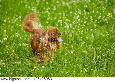 Brown Cocker Spaniel In Summer In The Green Grass.