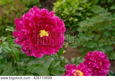 Beautiful Peony Flower Of Burgundy Color Blooming On Flowerbed.