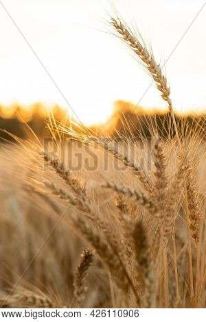 Agricultural Field. Ripe Ears Of Wheat On The Background Of The Sunset. The Concept Of A Rich Harves