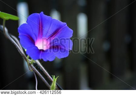 Morning Glory Flower Plant On Wooden Fence With Copy Space