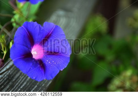 Morning Glory Flower Plant On Wooden Fence