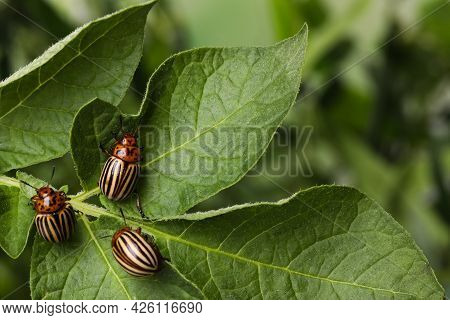 Colorado Potato Beetles On Green Plant Against Blurred Background, Closeup