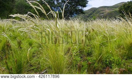 A Meadow Grasses With Mountains In Background, Typical Grass For Andes