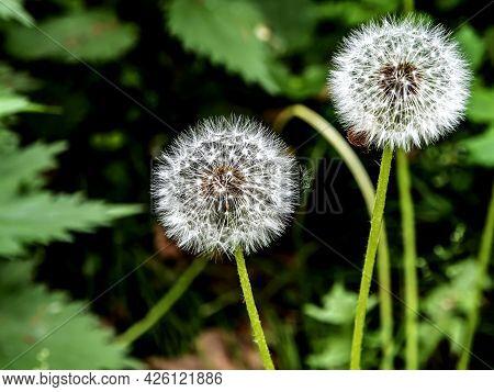 Fluffy Ripe Dandelion On A Blurred Background, Macro