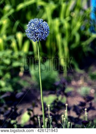 Bright Blue Flower Of An Ornamental Onion In The Garden