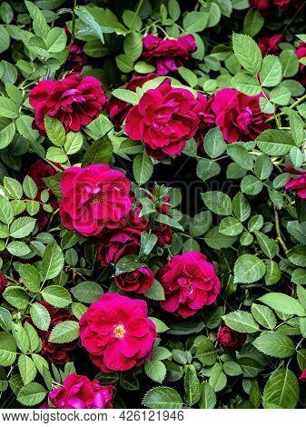 Lush Fresh Blooming Rose Bush In The Garden