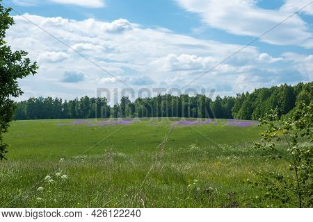 A Large Field With Purple Flowers On The Edge Of A Dense Forest On A Summer Day, Russia.