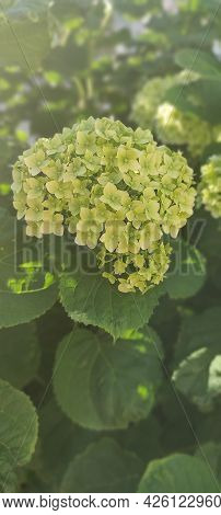 The Green And White Flower And Foliage Of The Mophead Hydrangea. A Beautiful Hydrangea Flower Bush I