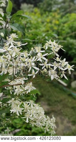 Small White Fragrant Flowers Of Clematis Recta Or Clematis Flammula Or Clematis Manchurian In Summer