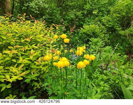 Blooming Flowers Of Trollius. Kupalnitsa, Frying Or Trollius, Wild Plant. Forest Flowers Background.