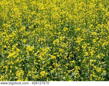 Rapeseed Or Canola In Blooming, A Piece Of Field, Selected Focus.