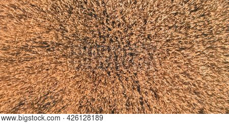 The Spikes Of Ripe Wheat On The Field On A Summer Day - A Top View Shot. The Texture Of Barley Spike