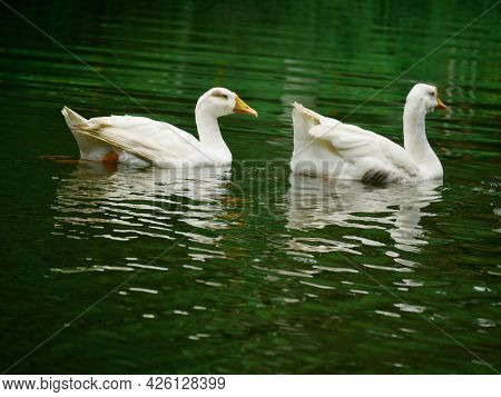 Two Duck Swimming Together On Lake Water At Beautiful Natural Background.