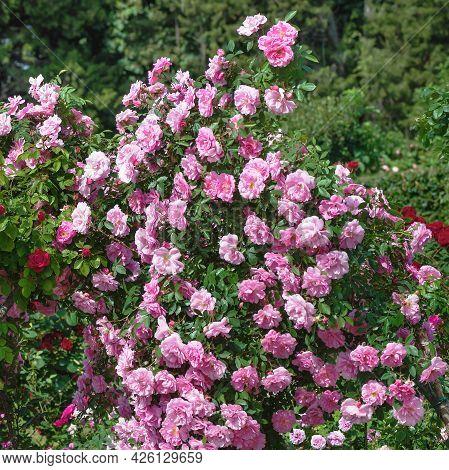 Standard Rose \