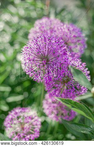 Beautiful Balls Of Purple Allium. Summer Meddow Or Garden. Flower Close Up.