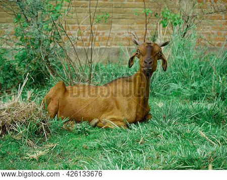 Goat In Brown Color Seating Upon Green Grass Field At Behind Wall Texture Blur Background.