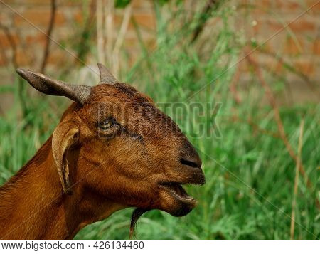 Goat Face Crying Face Around Green Grass Field At Behind Wall Texture Blur Background.