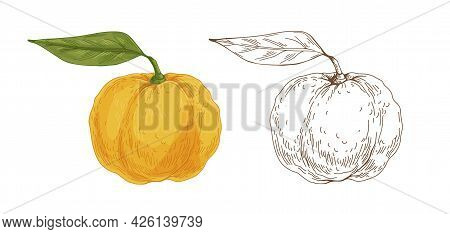 Colored And Outlined Yuzu Fruits. Vintage Botanical Drawing Of Japanese Citrus With Yellow Skin And
