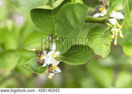 Honey Bee Or Apis Florea Bee Flying Collecting Pollen And Nectar Over White Flower Of Lime Tree In B