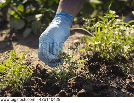 Hand In Blue Gloves Removing Weeds From Soil In Green Vegetable Garden In Summertime.