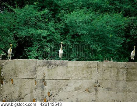 Three Herons Bird Seating Together Upon Wall Structure Behind Green Tree Leaves Background.