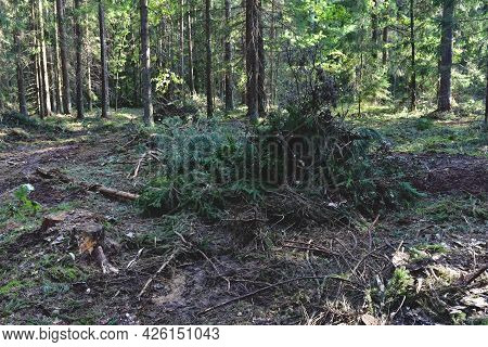 Felled Pine Trees In Forest. Deforestation Forest And Illegal Logging. Cutting Trees. Stacks Of Cut