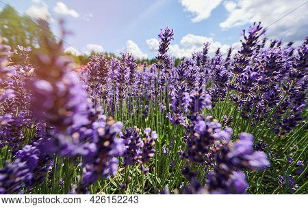 Lavender Flowers On Blue Sky