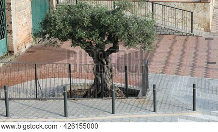 Old Olive Tree Behind Iron Fence In Andalusian Village