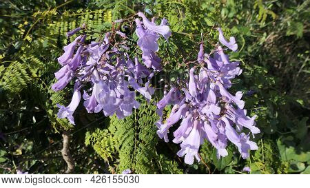 Closeup Of Jacaranda Tree In Full Blossoms And Flowers In Andalusian Countryside