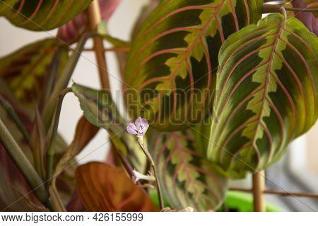 Selective Focus Image Of The Maranta Leuconeura Purple Flower