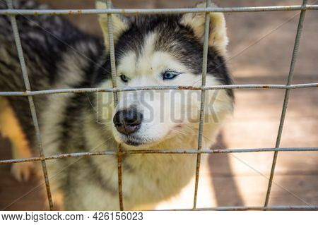 Purebred Husky In An Open-air Cage At A Private Dog Farm Haskiland Near Kemerovo, Russia