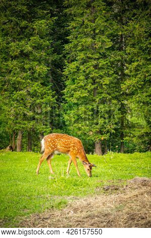 Wild Deer On A Green Meadow In The Forest Of Siberia, Russia