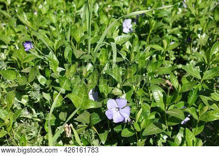 A Flower In The Leafage Of Lesser Periwinkle In April