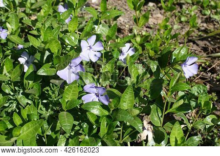 Close View Of Violet Flowers In The Leafage Of Lesser Periwinkle In April