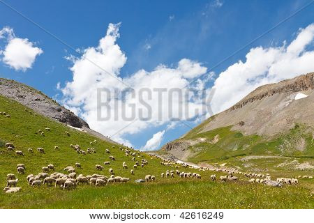 Herd Of Sheep Grazing On Mountain Meadow