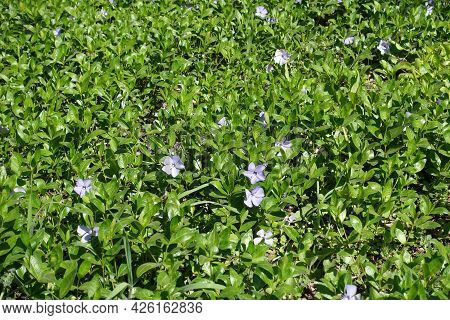 Lush Foliage And Violet Flowers Of Lesser Periwinkle In April