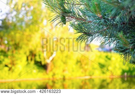 Branches Of A Green Spruce Against The Background Of A Blurred Riverbank