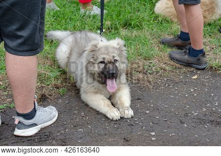 Fluffy Gray Puppy On A Leash Lying On The Green Grass. Walking With A 4 Month Old Caucasian Puppy.