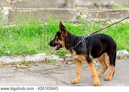 A Puppy On A Leash Against The Green Grass. A Walk With A 4 Month Old German Shepherd Puppy.  Side V